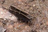 Gold-Costa Skipper (Cogia caicus moschus)