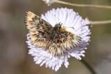Common Streaky Skipper (Celotes nessus)