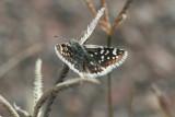 Small Checkered-Skipper (Pyrgus scriptura apertorum)
