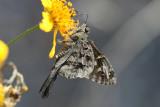 Dorantes Longtail (Urbanus dorantes dorantes)