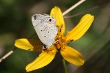 Mallow Scrub Hairstreak (Strymon istapa istapa)