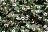 White Margin Spurge