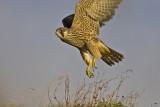 Peregrine Falcon. Vandrefalk