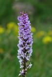 Brudespore, Gymnadenia conopsea
