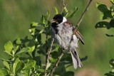 Reed Bunting. Sivspurv