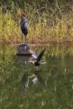 Goliath Heron and African Darter