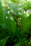 Three-leaved False Solomon's Seal