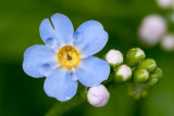 Forget-me-not with Rain Drops