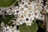 Hoary-leaf Lilac (Ceanothus crassifolius)