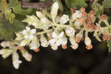 White-flowered Currant (Ribes indecorum)