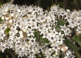 Wart-stem  Lilac (Ceanothus verrucosus)