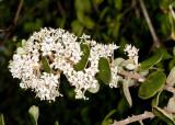 Warty-stem  Lilac (Ceanothus verrucosus)
