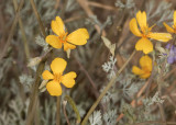 Pigmy Gold Poppy (Eschscholzia minutiflora)