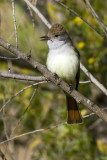 Ash-throated Flycatcher
