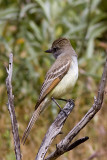 ash-throated-flycatcher01.jpg