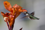 Unidentified Hummingbirds