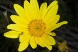San Diego Sea Dahlia  (Coreopsis maritima)