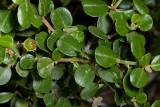 Warty-stem Ceanothus  (Ceanothus verrucosus)