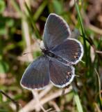 Eastern Tailed-Blue female _11R1033c.jpg