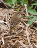 PALM WARBLERS (Dendroica palmarum)