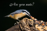 RED-BREASTED NUTHATCHES (Sitta canadensis)