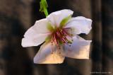 Anatomy Of A Bradford Pear Bloom