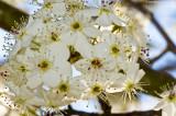 Bradford Blossom Explosion