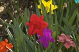 Rainbow Daffodils