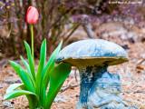 One Lone Tulip