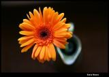 Orange Gerber = Friendship