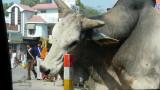 Une vache qui se frotte l'oeil sur un poteau....