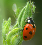 A meal for a ladybird