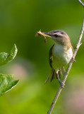 Red-eyed Vireo 7563