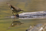 Northern Waterthrush 9972