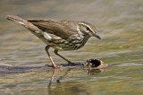 Northern Waterthrush 9938