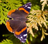 Red Admiral 0065