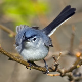 Blue Gray Gnatcatcher 0175