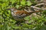 Brown Thrasher 0229
