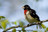 Rose-breasted Grosbeak 0670