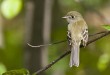 Least Flycatcher ? 0827