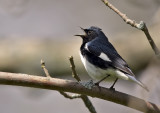 Black-throated Blue Warbler 0337
