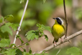 Common Yellowthroat 0778