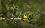 Common Yellowthroat 0796