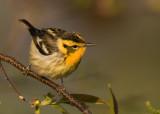 Blackburnian Warbler.jpg