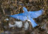 Bong Recreational Area Bluebirds and Bayside Screech Owl