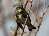 _I3W7704  Yellow-rumped Warbler