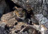 Great-horned Owls and a couple ducks