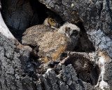 _I3W9570  Great-horned Owls