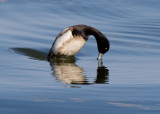 _I3W9740  Greater Scaup