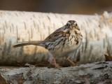 Song Sparrow 0432